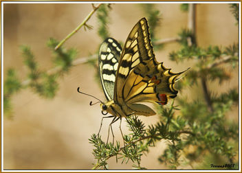 Papilio Machaon 01 - papallona, mariposa, butterfly - бесплатный image #278779