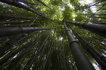 Bamboo Forest Canopy - image #278809 gratis