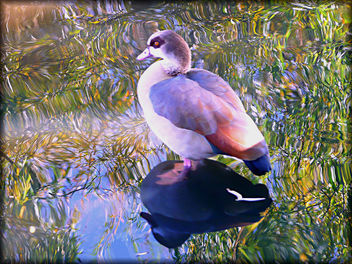 beautiful Egyptian Goose - image gratuit #279089