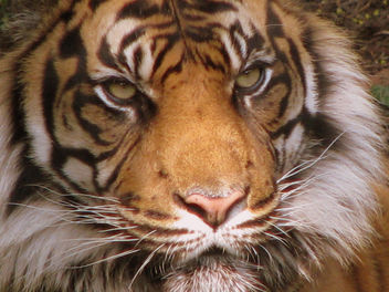 tiger close up - image gratuit #279709