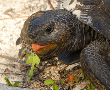 Yep! I'm sticking my tongue out at YOU! ( Gopher Tortoise ) - image gratuit #279759