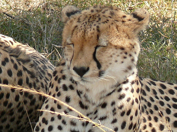 Cheetah in Kenya - image gratuit #279799