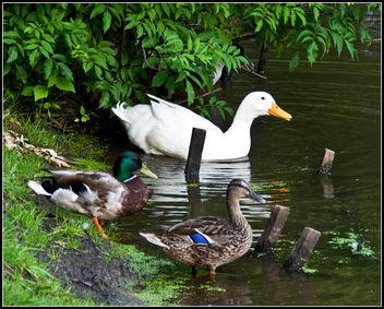 Ducks Hangin' Out at the Lake - бесплатный image #279999