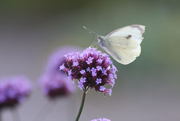 RHS Wisley - August 2009 - Large White on Verbena - image #280279 gratis