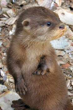 Otter pup cuteness - Kostenloses image #280509