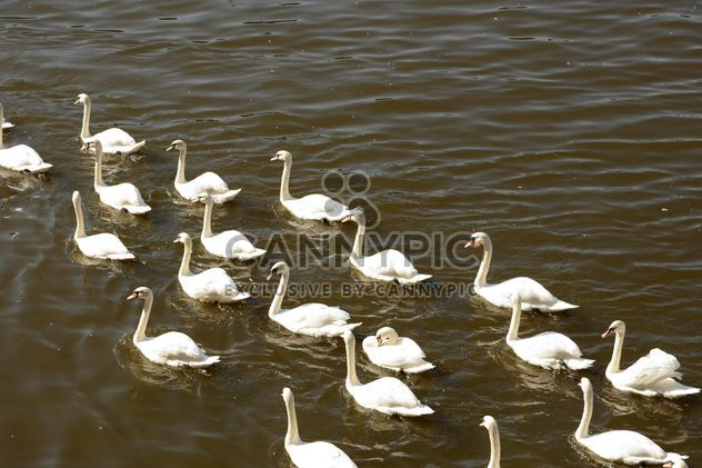 White Swans on the lake - Free image #280999