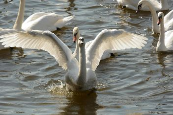 Swans on the lake - image #281019 gratis