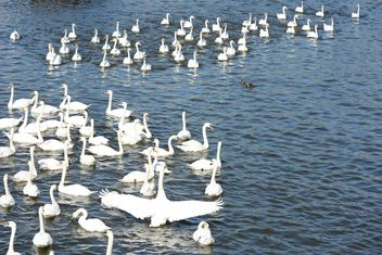 Swans on the lake - image #281029 gratis