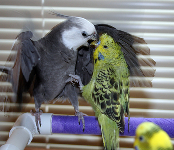 Cockatiel vs English Budgie - image gratuit #281249