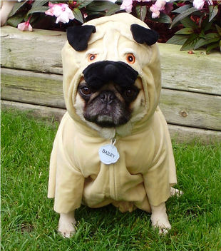 Pug In A Pug Costume 'Pugception' - image gratuit #281389