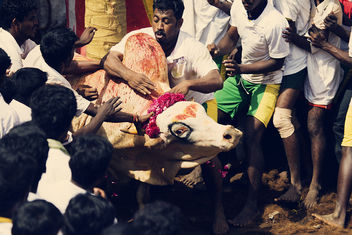 Man Versus Bull - The Jallikattu Sport Series | Explored - Free image #281419