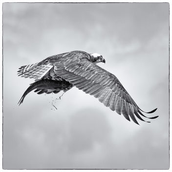 Osprey with fish - image gratuit #281549
