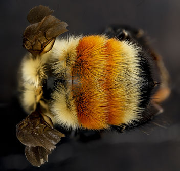 Bombus huntii, M, back2, Pennington County, South Dakota_2012-11-15-16.42.02 ZS PMax - image #281589 gratis