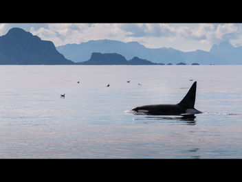 Killer Whale in Norwegian Sea - Free image #281959