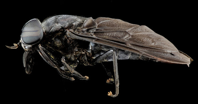 Horse fly, U, Side, Md_2013-08-21-16.22.32 Zs Pmax - Free image #281989
