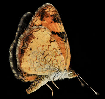 Pearl Crescent, U, side, MD, PG County_2013-08-20-12.06.34 ZS PMax - Free image #281999