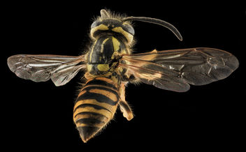Yellowjacket, Back, MD, Talbot County_2013-09-30-19.05.15 ZS PMax copy - image gratuit #282059
