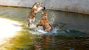 Wow! Tigers!! (but not really a photo) - image #282139 gratis