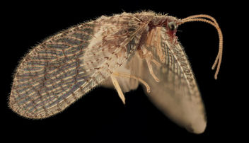 Brown Lacewing, Upper Marlboro_2013-10-18-11.33.42 ZS PMax - Free image #282149