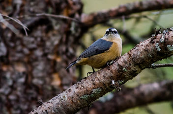 Red-breasted Nuthatch (Sitta canadensis) - бесплатный image #282209