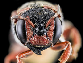 Dianthidium floridiense, Female, Face, Florida, Broward County_2013-11-15-18.00.56 ZS PMax - Free image #282239