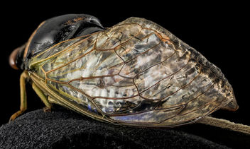 Stained Glass Cicada wings, U, wings 1, Bent Creek EF, NC_2014-01-17-16.16.33 ZS PMax - Free image #282399