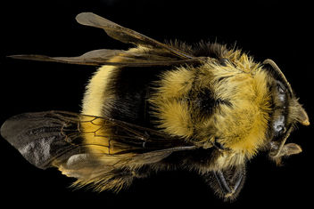Bombus occidentalis, F, Back, Utah Co., Utah_2014-01-10-15.14.35 ZS PMax - Kostenloses image #282429