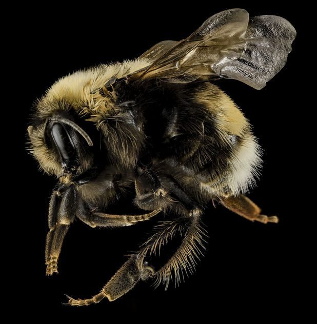 Bombus occidentalis, F, Side, Utah Co., Utah_2014-01-10-15.27.00 ZS PMax - image gratuit #282459