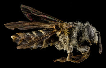 Andrena nubecula, F, side, North Carolina, Buncombe County_2013-03-19-14.25.35 ZS PMax - Free image #282549
