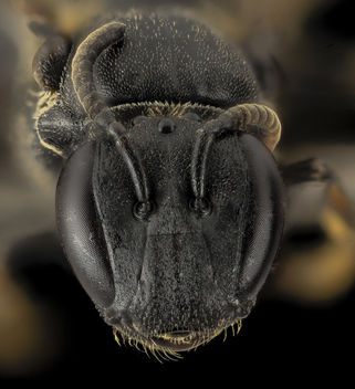 Hylaeus species, F, Face, Maui, HI_2014-04-25-19.00.40 ZS PMax - бесплатный image #282649