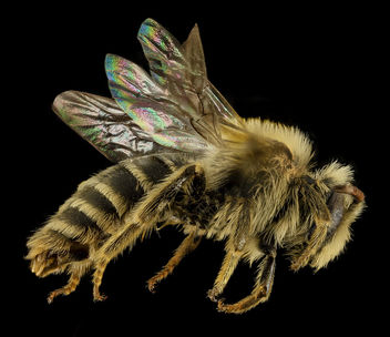 Andrena gardineri, M, Side, OH, Washington County_2014-05-06-13.40.18 ZS PMax - Free image #282719