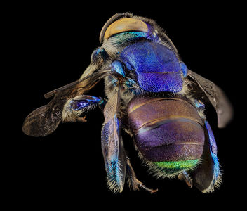 Orchid bee green butt, m, back, guyana_2014-06-17-18.25.47 ZS PMax - бесплатный image #282859