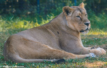 Female Lion at Parken Zoo - image gratuit #283049