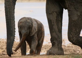 Baby Elephant with mother - Free image #283069