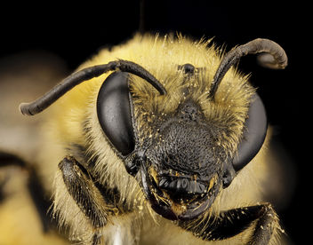 Colletes hederae, f, country unk, face_2014-08-09-18.06.18 ZS PMax - image #283249 gratis