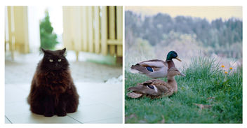 Triangle cat vs. Them ducks - image gratuit #283389