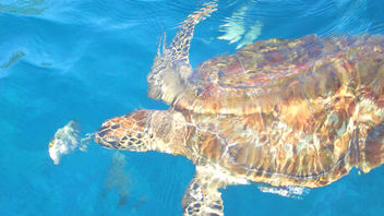 Thailand - Sea Turtle diving - Similan Islands - Free image #283619