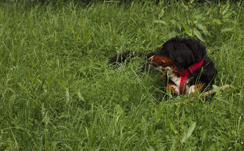 Disa lies in the grass - бесплатный image #283739