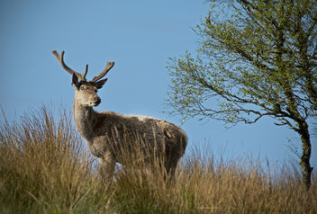 Red deer stag [Explored 31.05.15] - Free image #283769