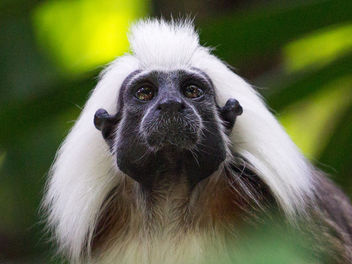 Cotton-top Tamarin at Singapore Zoo - Free image #283859