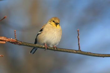 Winter Goldfinch - image #284789 gratis