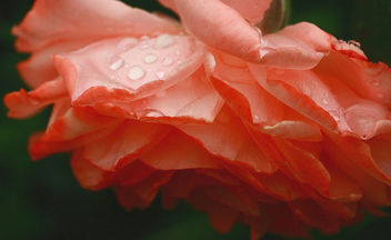 lots of rain on the roses - Free image #286509