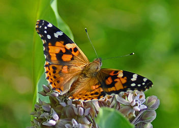 Painted Lady - image gratuit #287029