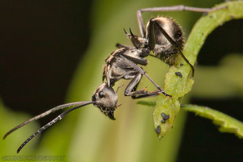 Spiny Ant Looking Down [Polyrhachis] - image gratuit #287449