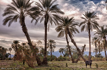 Cow in the Palm Tree Forest - image gratuit #287849