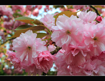 Pink blossom - Kostenloses image #288179