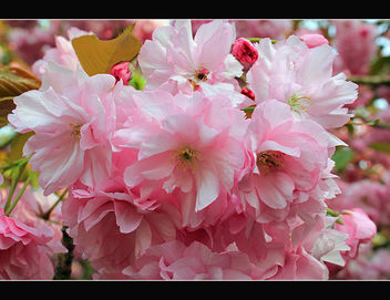 Spring blossom - Kostenloses image #288209