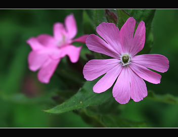 Red Campion - image gratuit #288329