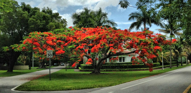 Royal Poinciana à Miami - image gratuit #288599
