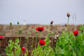 Anstruther Poppies - image #288759 gratis